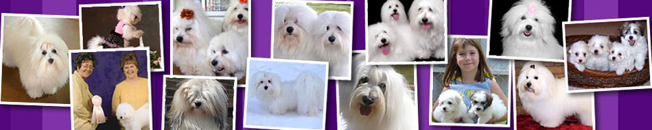 North American Coton Association | Coton de Tulear Puppies